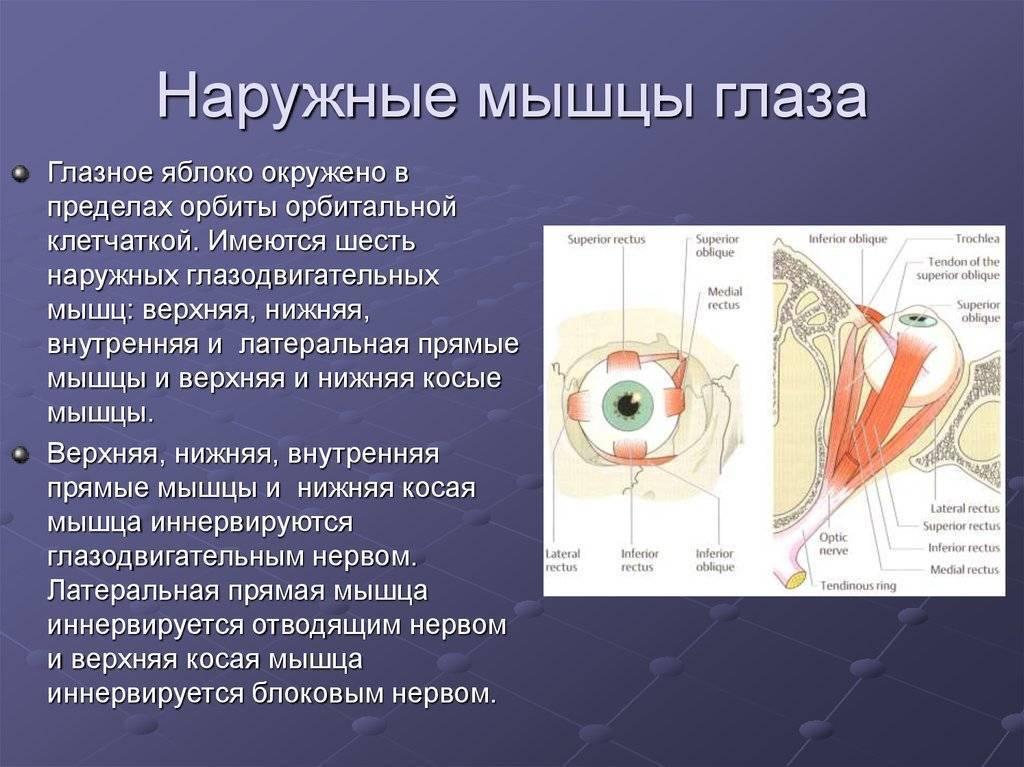 Анатомия: клетчатка глазницы и влагалище глазного яблока. веки, palpebrae.