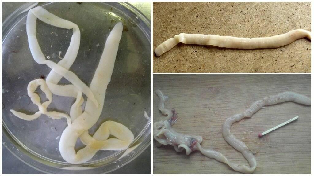Селитерный червь: причины появления, симптомы и лечение