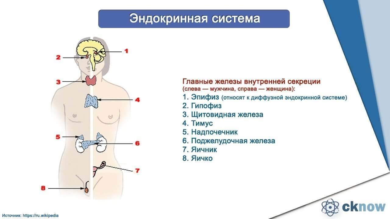 Обследование эндокринной системы