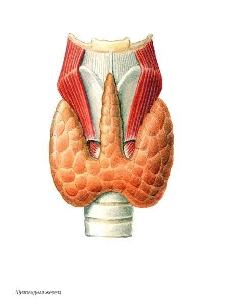 Нормальные размеры щитовидной железы у девочек 14 лет: 14, девочек, железы, лет, нормальные, побочные эффекты, причины и диагностика, размеры, разновидности болезни, что это такое, щитовидной