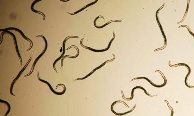Паразиты в организме человека: причины, симптомы и лечение народными средствами