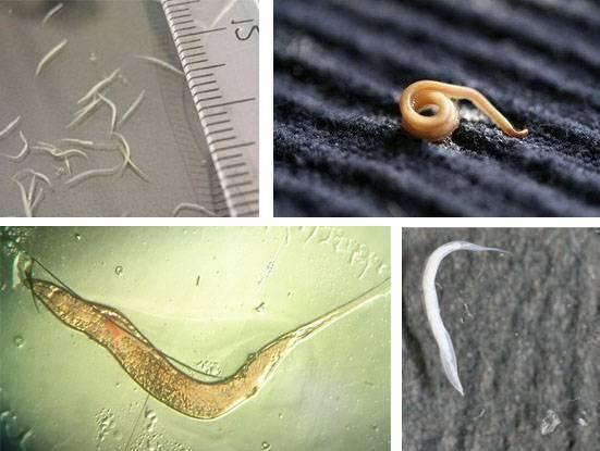 Инкубационный период глистов в организме человека