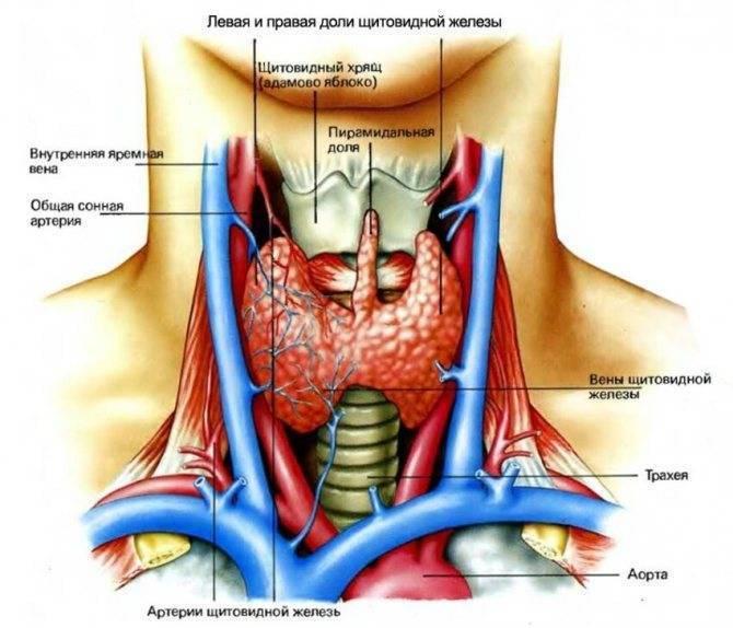 Болезни щитовидки и остеопороз тесно связаны