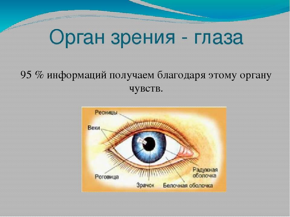 Анатомия орган зрения кратко - лечение глаз