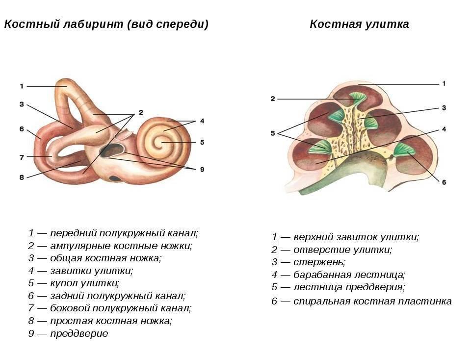 Строение уха человека — схема с описанием