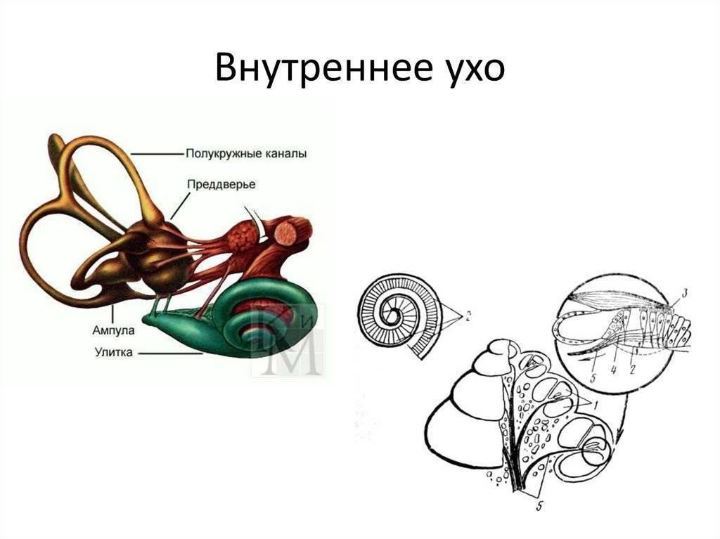 функции внутреннего уха