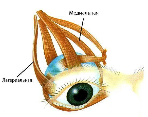 Глазодвигательный нерв — википедия с видео // wiki 2