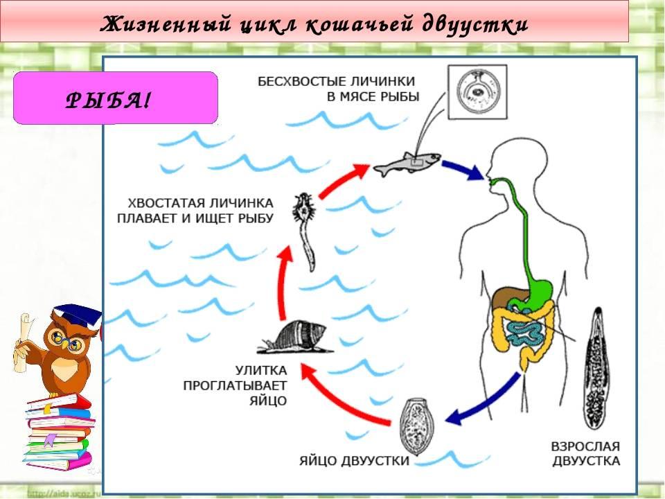 Кошачья двуустка у человека — parazit24