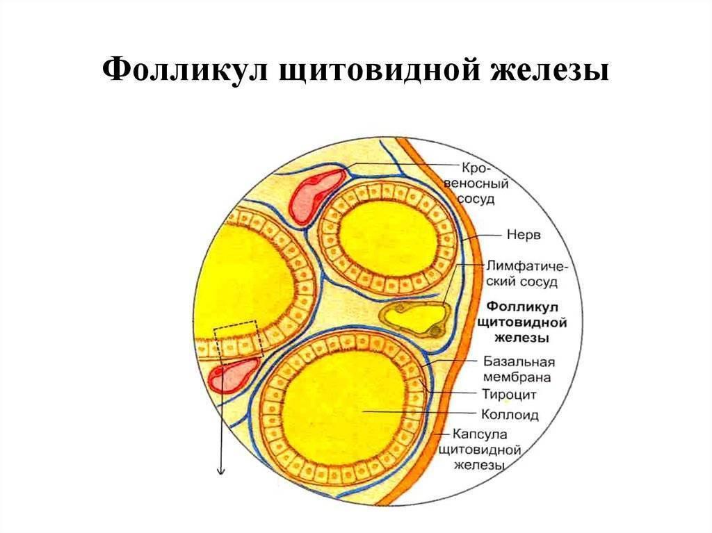 расширенные фолликулы в щитовидной железе