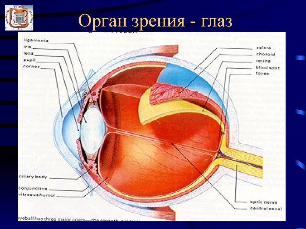 Анатомия: внутреннее ядро глаза. стекловидное тело, corpus vitreum. хрусталик, lens. аккомодация.