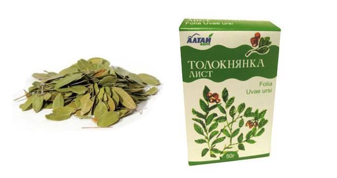Толокнянка (медвежье ушко) при цистите: как принимать листья, ягоды, отвар, настой (противопоказания, отзывы)