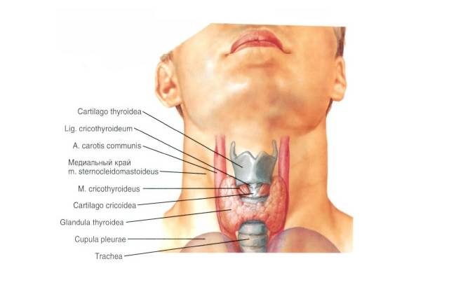 Что нужно знать о щитовидной железе