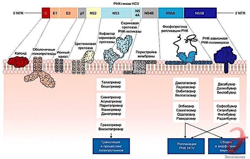 Гепатит с: пути передачи, симптомы, диагностика, лечение, профилактика и прогноз