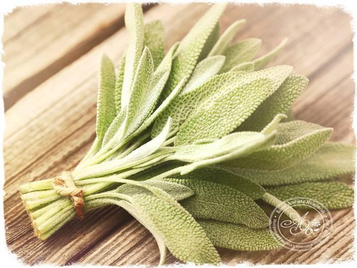 Действенные рецепты с применением шалфея от кашля