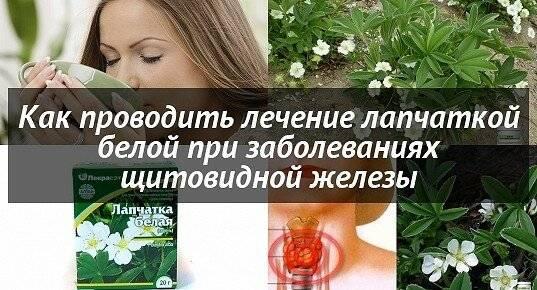 Корень лапчатки белой и его применение для лечения заболеваний щитовидной железы
